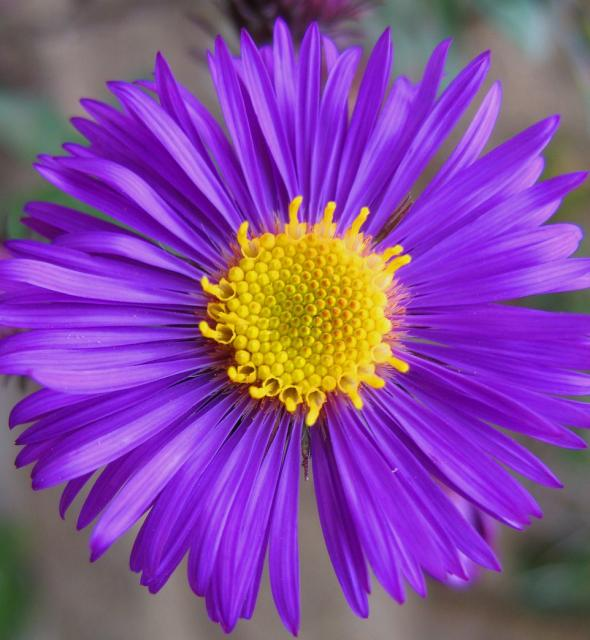 rich_dark_purple_Aster_flower